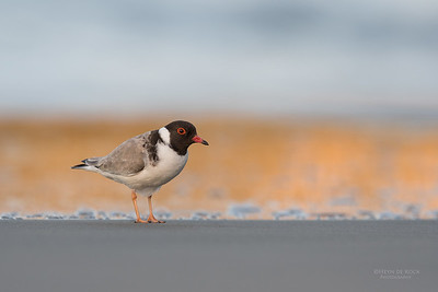 Hooded Plover, Bruny Island, TAS, Sept 2016-1