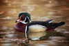 One of my favourite ducks to photograph5 - Wood Duck