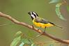 Crested Shriketit - Falcunculus frontatus (Eynesbury, Vic)
