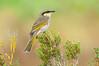 Singing Honeyeater – Gavicalis vriescens sonorus (Melbourne, Victoria)