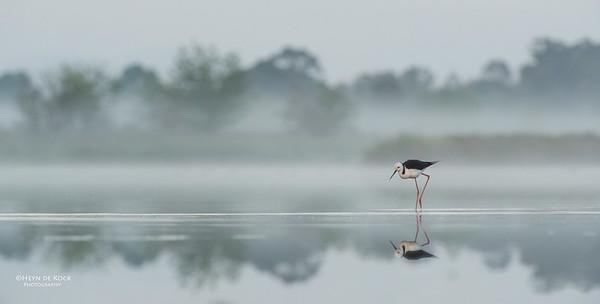 Black-winged Stilt, Pitt Town Lagoon, NSW, Oct 2013