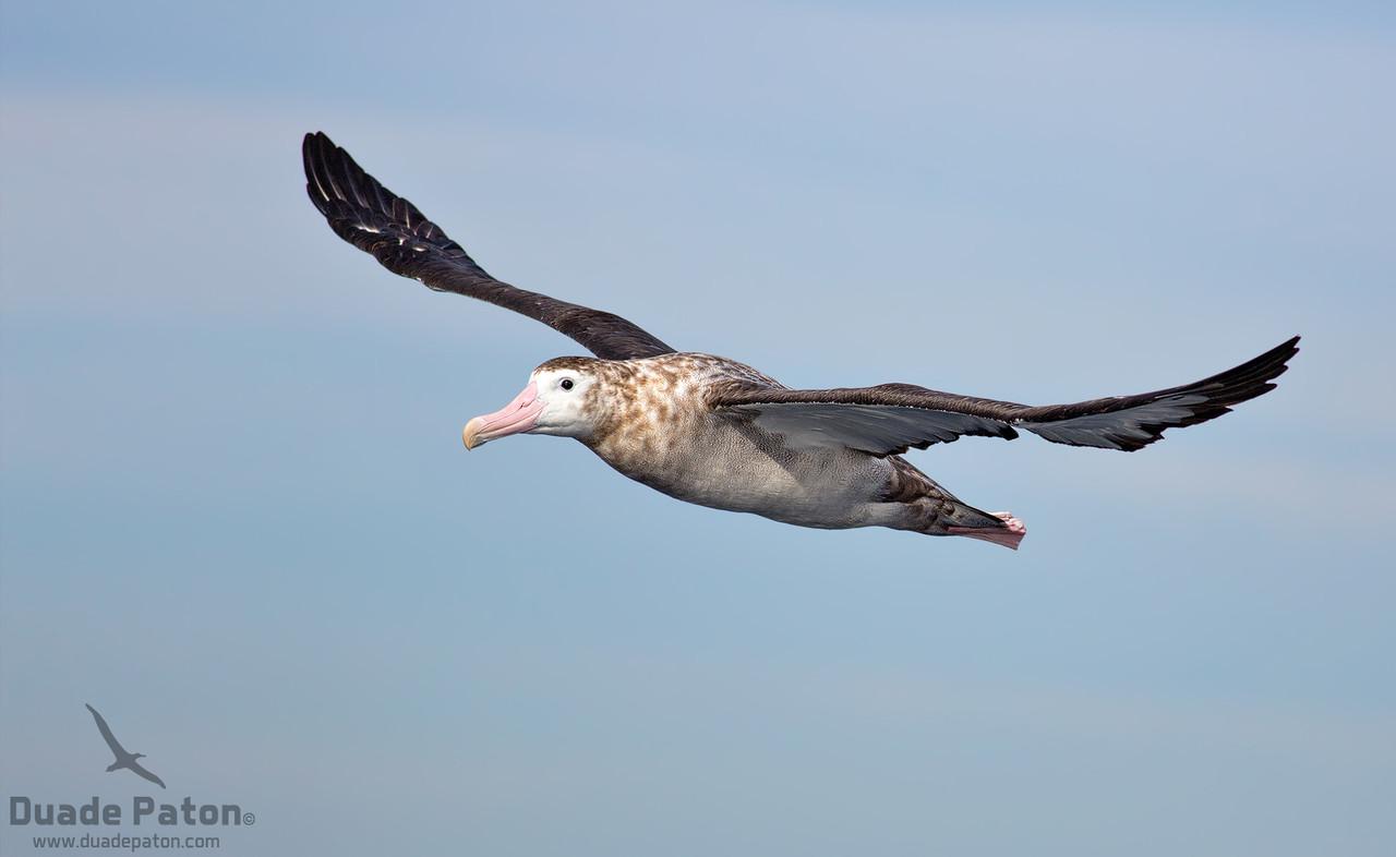 Antipodean Albatross
