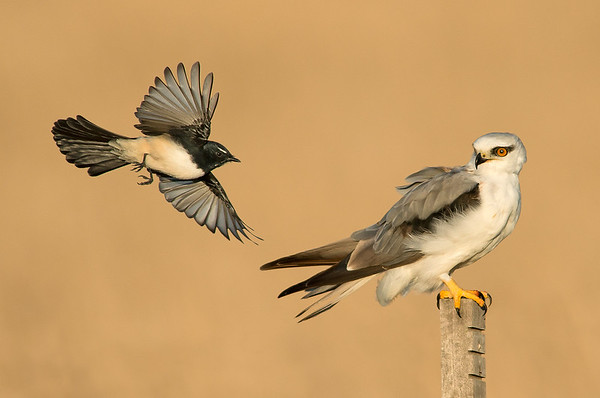 Willie Wagtail - Rhipidura leucophrys & Black-shouldered Kite - Elanus axillaris (Western Treatment Plant, Vic)