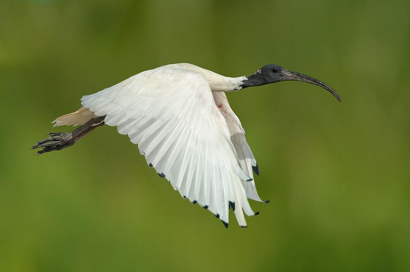 Australian White Ibis - Threskiornis moluccus (Flinders, Vic)