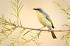 Grey-headed Honeyeater – Ptilotula keartlandi (Ross River, Northern Territory)