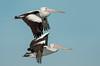 Australian Pelican - Pelecanus conspicillatus (Western Treatment Plant, Vic)
