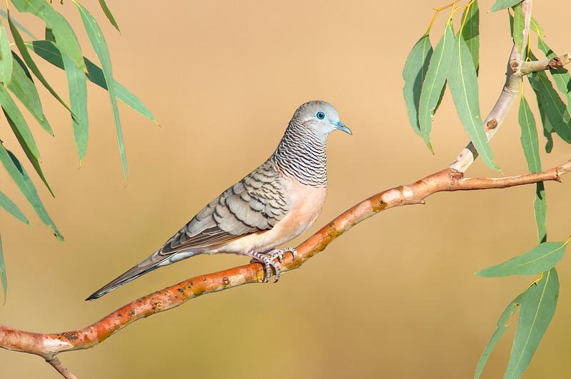 Peaceful Dove – Geopelia placida (Benalla, Victoria)