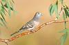 Peaceful Dove – Geopelia placida (Benalla, Victoria)