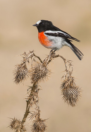 Scarlet Robin - Petroica boodang (You Yangs, Vic)