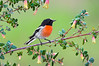 Scarlet Robin – Petroica boodang (Melbourne, Victoria)