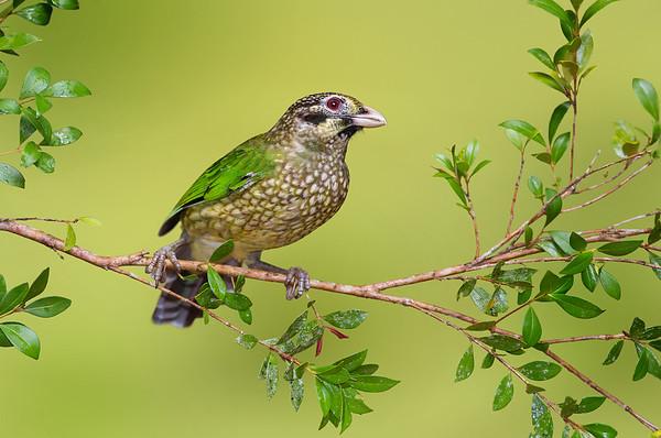 Spotted Catbird - Ailuroedus melanotis (Atherton, Qld)