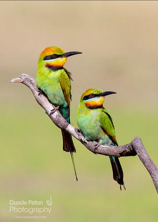 Rainbow Bee-eater Pair
