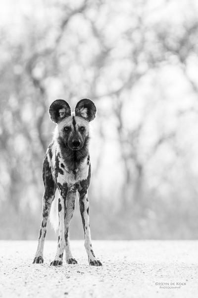 Wild Dog, Kruger NP, SA, Sept 2015-2b&w