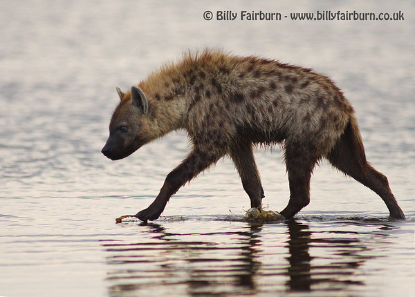 Spotted Hyena   Lake Nakuru, Kenya   A hyena wades through the shallows of Lake Nakuru