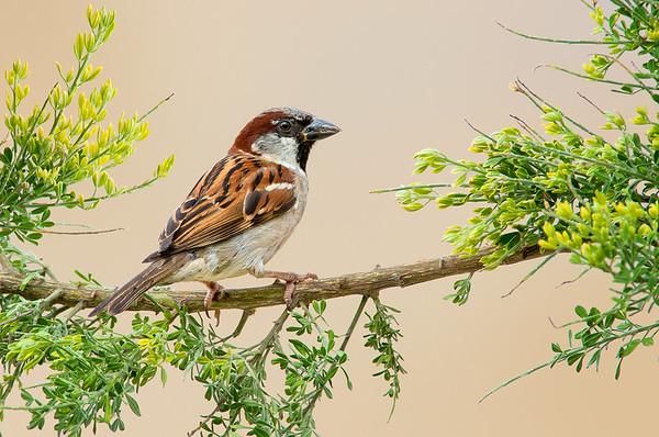 House Sparrow - Passer Domesticus (m) (Kerang, Vic)