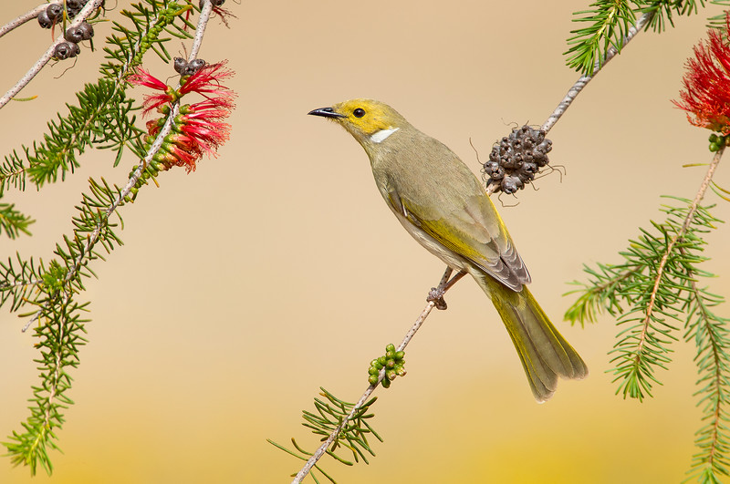 White-plumed Honeyeater - Lichenostomus pencillatus (Warby Ranges, Vic)