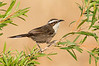 White-browed Babbler – Pomatostomus superciliosus (Goschen, Victoria)
