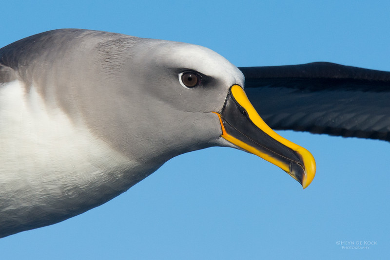 Buller's Albatross, Eaglehawk Neck Pelagic, TAS, July 2015