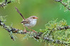 Superb Fairywren - Malurus cyaneus (f) (Glen Waverley, Vic)