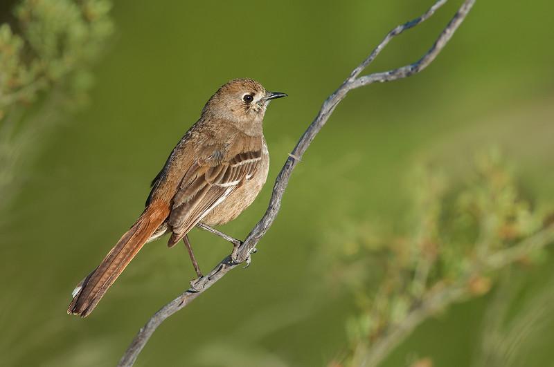 Southern Scrub Robin - Drymodes brunneopygia (Wyperfeld NP, Vic)