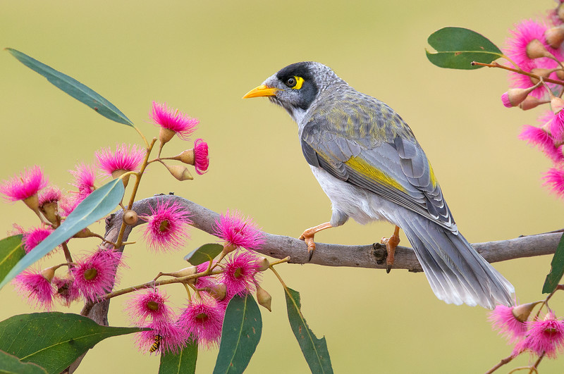 Noisy Miner - Manorina melanocephala (Melbourne, Victoria)