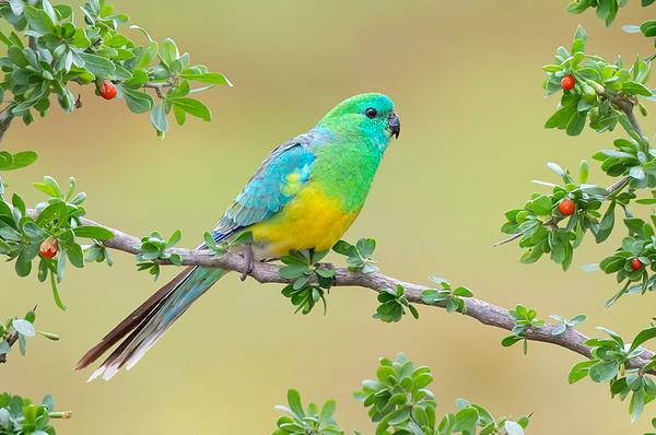 Red-rumped Parrot – Psephotus haematonotus (Melbourne, Victoria)