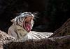 White Tiger, Loro Parque