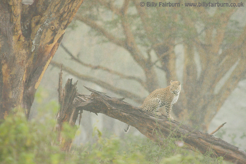 "<font size=""4""> Leopard in the Rain </font size> <i> Lake Nakuru, Kenya </i>  A male leopard looks to make the most of the changing conditions in a Nakuru acacia forest"