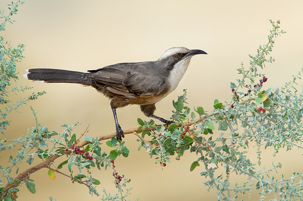 Grey-crowned Babbler - Pomatostomus temporalis (Kerang, Vic)