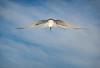 Norway 1 314 Arctic Tern, Ny Alesund, Spitsbergen