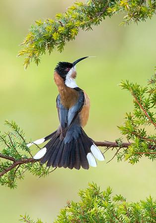 Eastern Spinebill - Acanthorhynchus tenuirostris (m) (Tathra, NSW)
