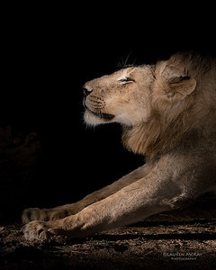 African Lion, Sabi Sands (EP), SA, Oct 2016-1
