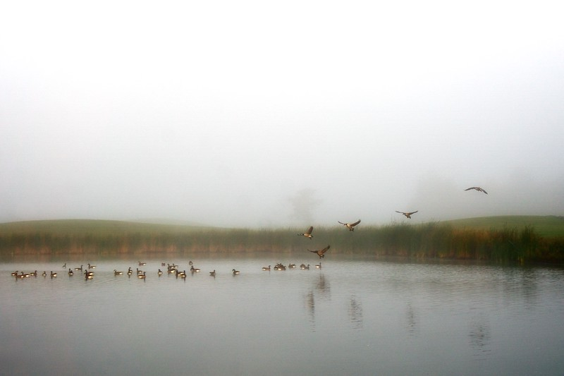 Canada Geese landing on the pond