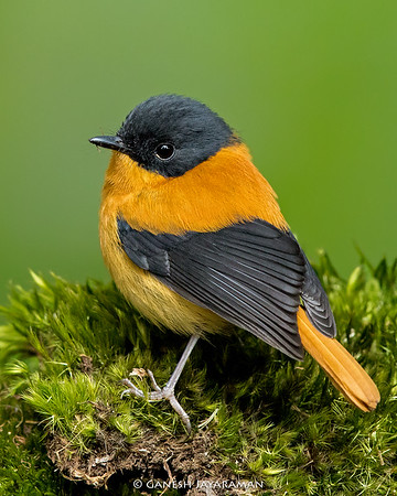 Black-and-orange Flycatcher (Ficedula nigrorufa)