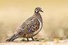 Squatter Pigeon - Geophaps scripta (ssp peninsulae) (Mareeba, Qld)