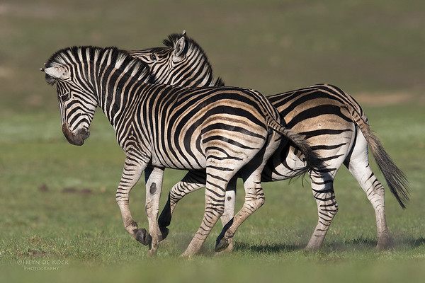 Plains Zebra, Goldengate NP, FS, SA, Oct 2016-1