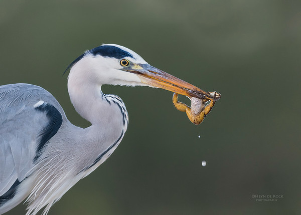 Grey Heron & African Clawed Frog, Zimanga, South Africa, May 2017-21