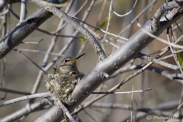 """Nesting Hummingbird"""