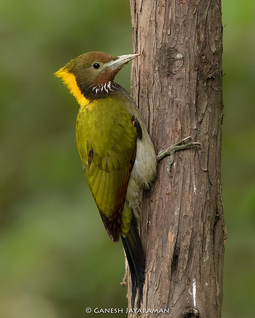 Greater Yellownape Woodpecker (Chrysophlegma flavinucha)