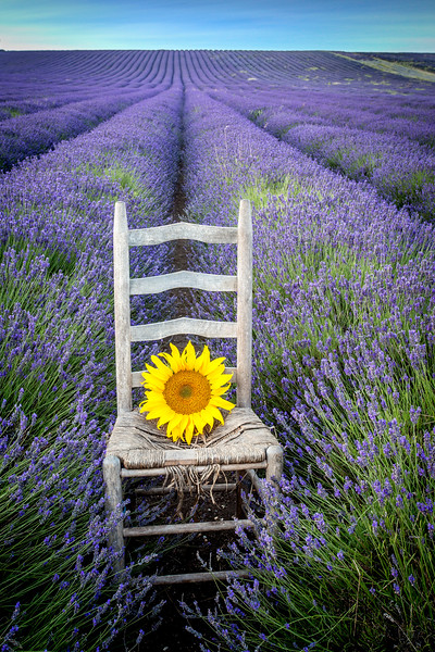 Just a sunflower on a chair in a lavender field