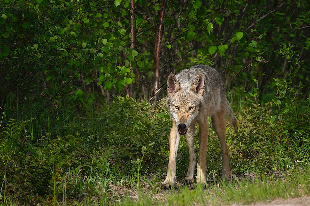 Eastern Wolf - Dr. Brad White was surprised to see that I spotted an Eastern Wolf was a far west as the Kenora area.
