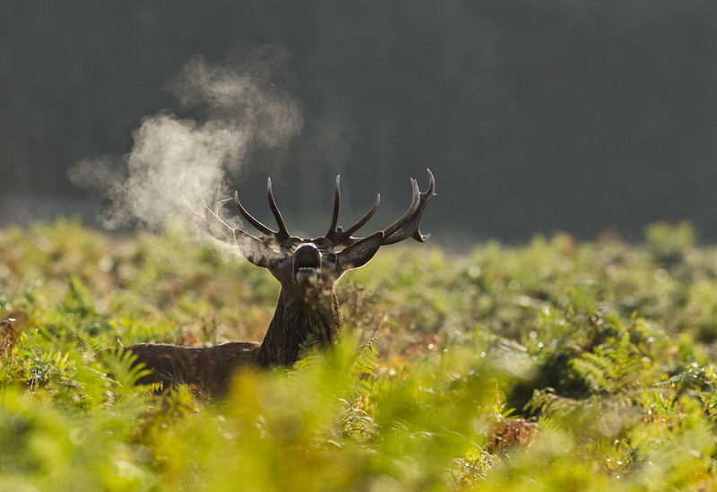 Rutting stag  just after dawn gives me a warning.<br /> Won me 2nd place in  the BRITISH DEER SOCIETIES PHOTOGRAPHIC COMPETITION 2011/12