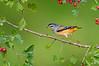 Spotted Pardalote - Pardalotus punctatus (Surrey Hills, Vic)