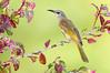 Brown Honeyeater – Lichmera indistincta (Darwin, Northern Territory)