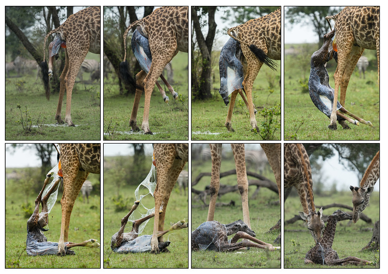 Giraffe birth