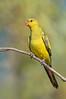 Regent Parrot - Polytelis anthopeplus [race monarchoides] (male) (Wyperfeld NP, Vic)
