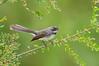 Grey Fantail - Rhipidura albiscapa (Melbourne, Vic)