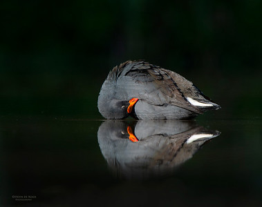 Dusky Moorhen, Tallai, QLD, Aus, Jun 2013-1 copy