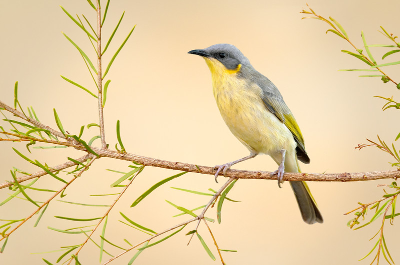 Grey-headed Honeyeater – Ptilotula keartlandi (Ormiston, Northern Territory)