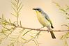 Grey-headed Honeyeater – Ptilotula keartlandi (Ormiston, Northern Territory)